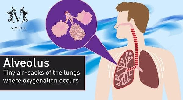 copd alveolus
